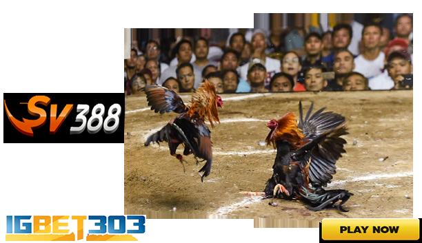 Judi Sabung Ayam Sv388 Online Live Terbesesar dan Teraman di Indonesia